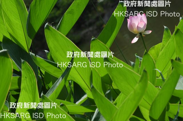 Photos of Lotus flower at Shing Mun Valley Park